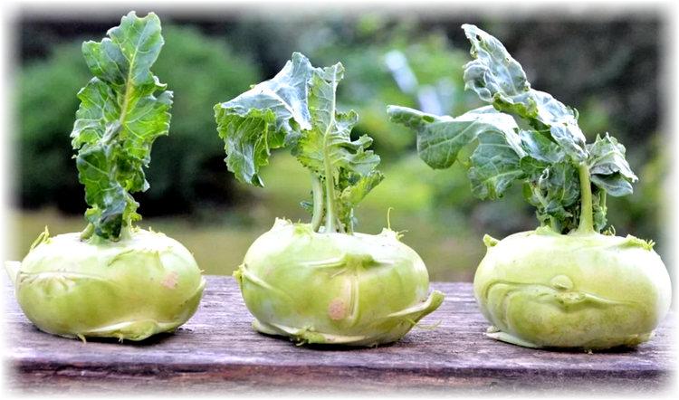 капуста кольраби - выращивание и уход за посадками