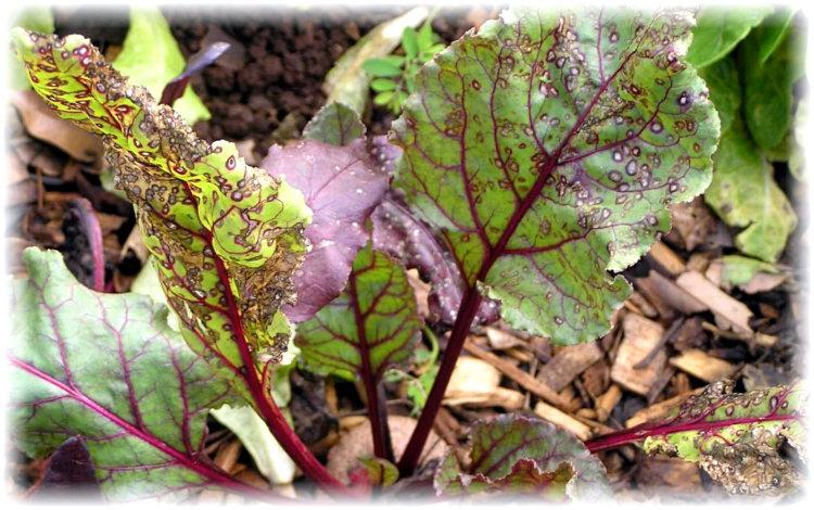 меры борьбы с пятнистостью листьев свеклы - церкоспорозом