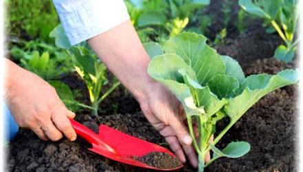 Кольраби — выращивание и уход в открытом грунте капустной репы
