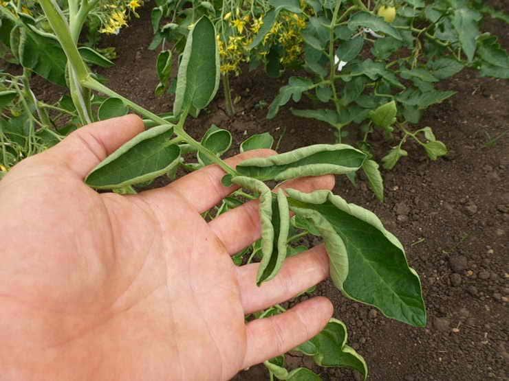что делать, если закручиваются листья помидоров
