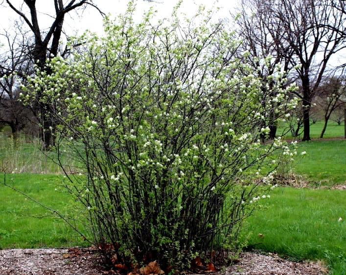 как выращивать иргу в открытом грунте