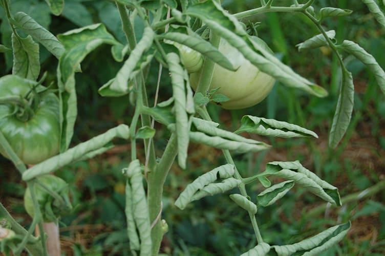 когда скручиваются листья помидор