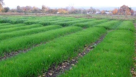 Что это такое сидераты, какие лучше сеять весной и осенью, польза