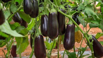 Как вырастить баклажаны- 7 секретов ухода для богатого урожая