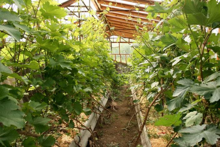 выращивание винограда правильно