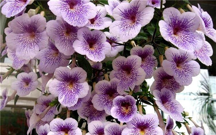 ахименес цветущий - выращивание и уход