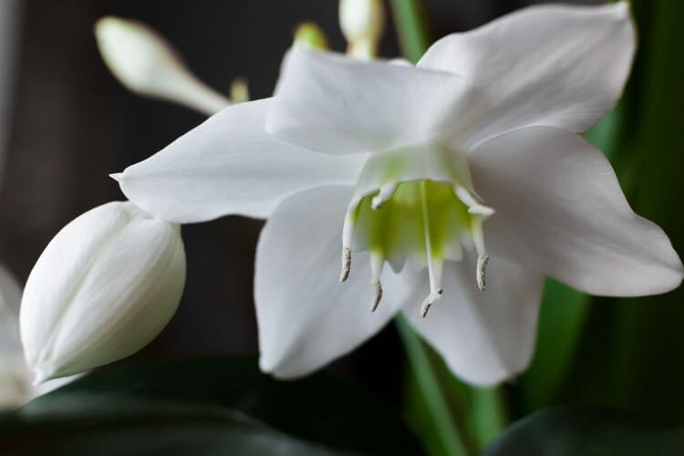 амазонская лилия - цветок крупным планом