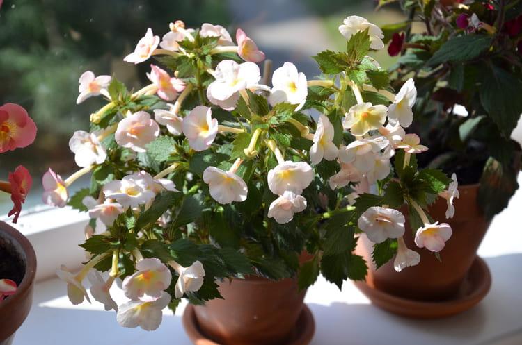 цветок ахименес в горшке на подоконнике
