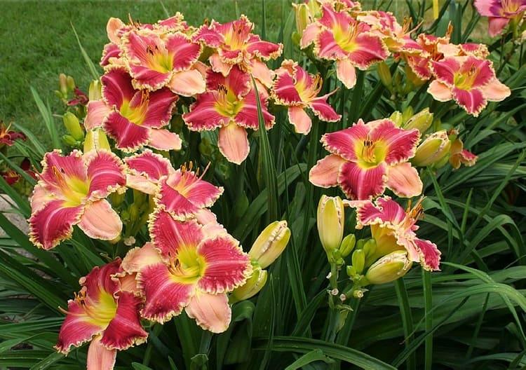 лилейники - выращивание
