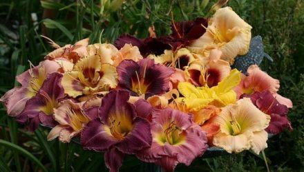 Лилейники: уход и выращивание, посадка в открытый грунт, сорта, размножение цветов