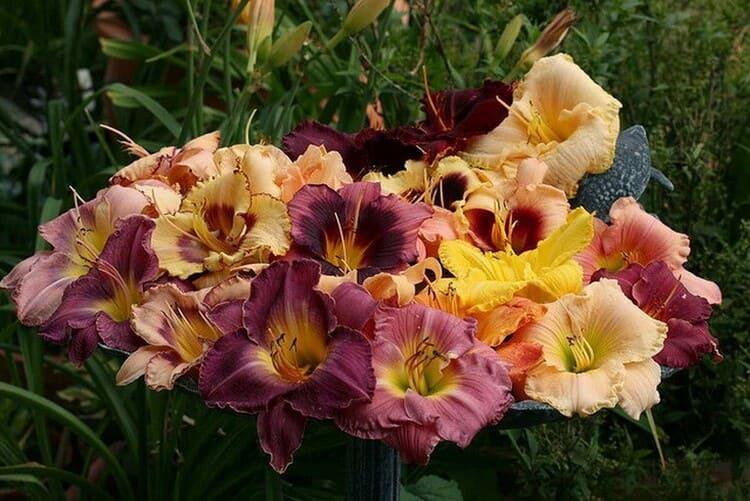 лилейники - сорта, выращивание