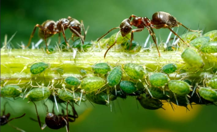 муравьи пасут тлю