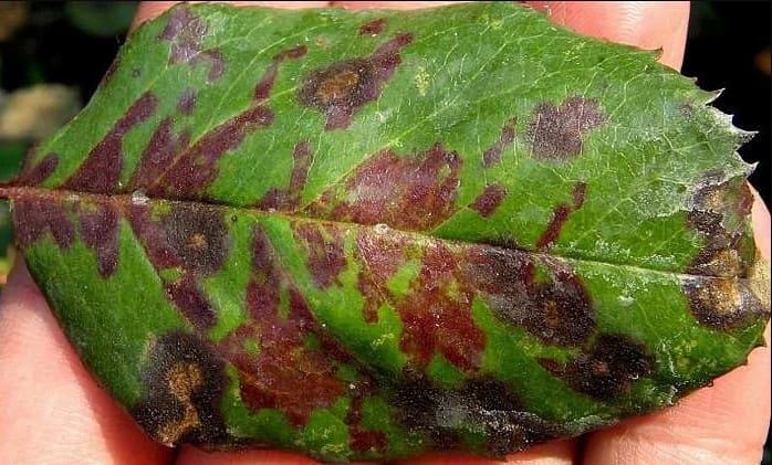 болезни роз - ложная мучнистая роса на листьях