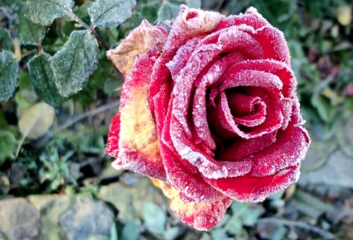 болезни роз - мучнистая роса