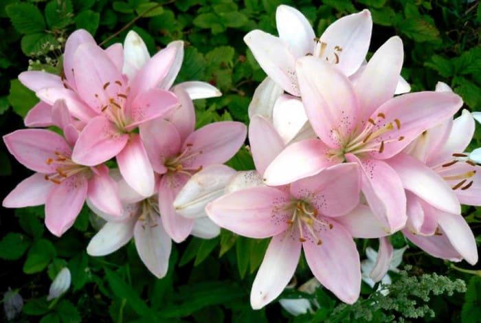 вегетативное размножение лилий