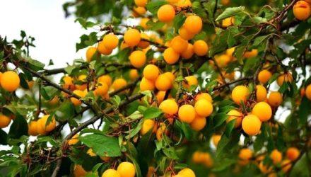 Выращивание алычи — описание, посадка и уход, формирование кроны