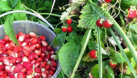 Выращивание садовой земляники (клубники) — 9 секретов хорошего урожая