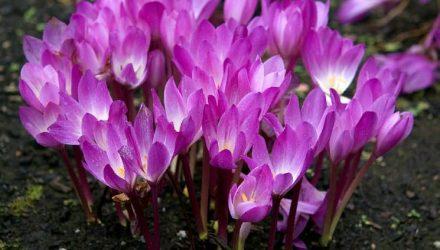 Колхикум (безвременник) — описание растения, фото, виды садового цветка