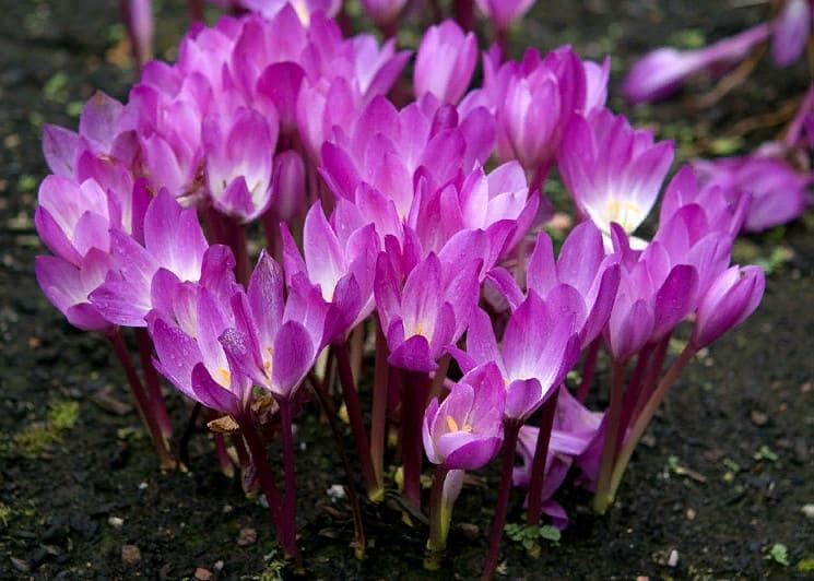 безвременник - фото, описание растения, виды цветка