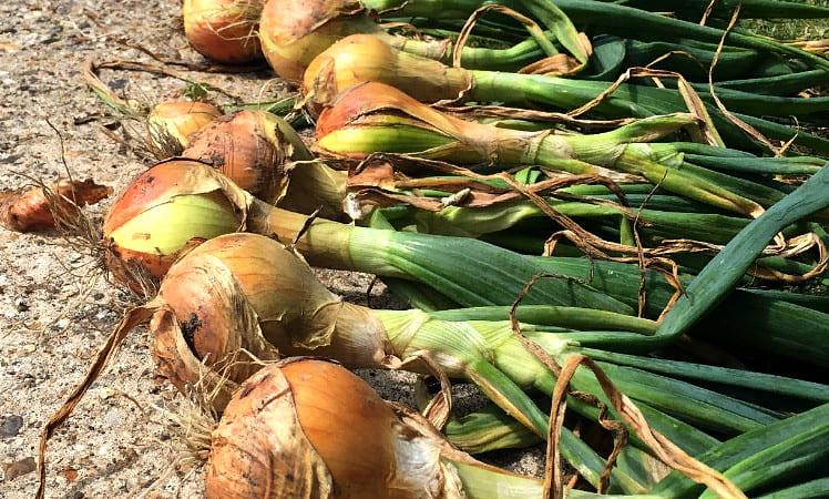 репчатный лук выращивание и уход, сбор урожая