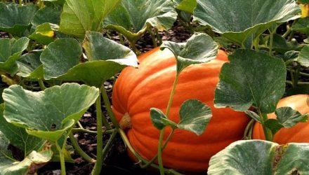 Выращивание тыквы — сорта, рассада, посадка и уход в открытом грунте
