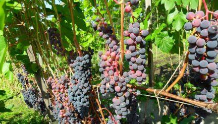 Виноград — уход и выращивание, фото, сорта, посадка, размножение черенками